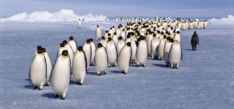 penguin_migration