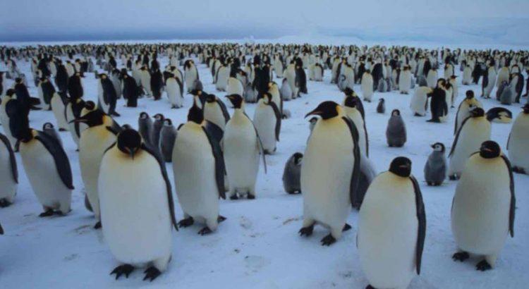 Pinguini imperatore, via Fritz Pölking/WWF